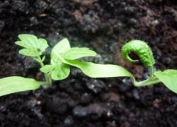Почему скручиваются листочки у помидоров