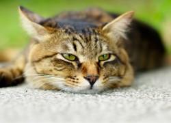 Нужно ли стерилизовать кошку?