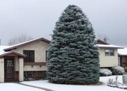 Как пересаживать крупномерные деревья в зимний период года