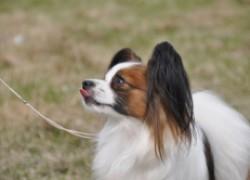 Фален. Все про породу собаки, фото и правила содержания
