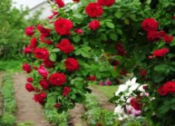 Тонкости выращивания вьющейся розы