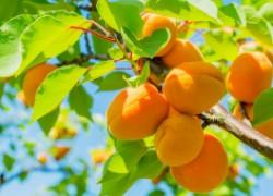 Два способа вырастить абрикос: саженец и косточка