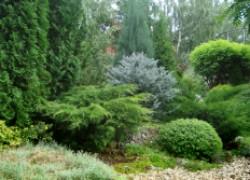 Почему сохнет хвоя у елки и желтеет туя