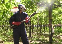 Окуривание виноградника горящей серой: за и против