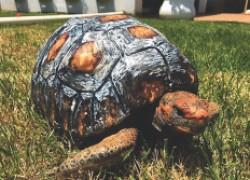 В Бразилии для черепахи напечатали новый панцирь на принтере