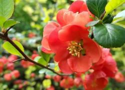Айва японская украсит участок и принесет пользу здоровью