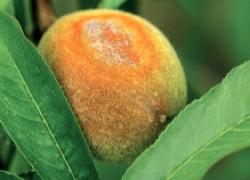 Пришла парша на персики
