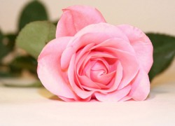 Почему розы выращивают привитыми