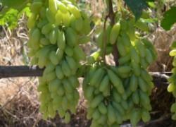 Знакомьтесь с отличным сортом – Хусайне Келин Бармак винограда