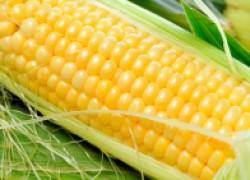Лучшие сорта сахарной кукурузы-2016