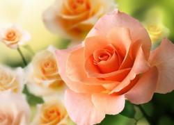 Корнесобственные зимостойкие розы