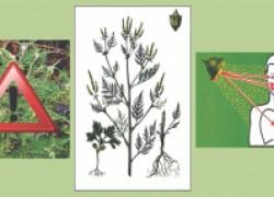 Внимание: амброзия – карантинный сорняк