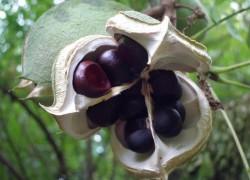 В моем саду прижился и растет чекалкин орех