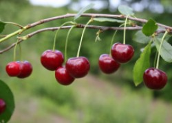 8 лучших сортов вишни для ваших участков