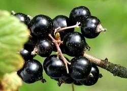 Сорта черной смородины, которые порадуют урожаем