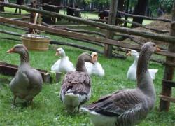 Несколько способов убоя домашней птицы