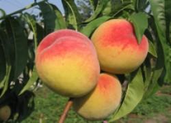 5 лучших сортов персика