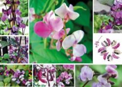 Мой любимый цветок – долихос
