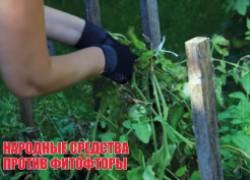Суперсмесь против фитофторы на помидорах