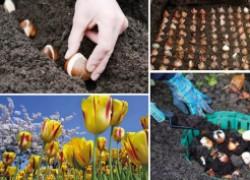 Правильная посадка тюльпанов осенью