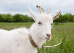 У нерожавшей козы появилось молоко
