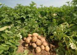 С картошкой по жизни