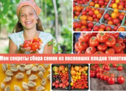 Мои секреты сбора семян из поспевших плодов томатов