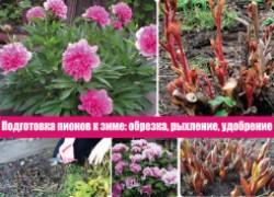 Подготовка пионов к зиме: обрезка, рыхление, удобрение