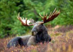 Однажды в лесу лось попросил меня о помощи