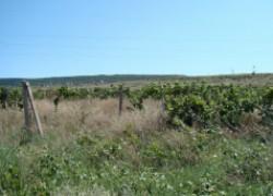 Облагораживаем заброшенный виноградник