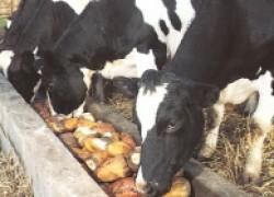 Можно ли давать корове картофель?