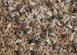 Как сохранить урожай пшеницы в сельских условиях