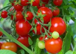 Свой сорт помидоров назвала в честь своего деда Федора Сковородина