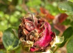 Железный купорос спасет цветы от черной гнили