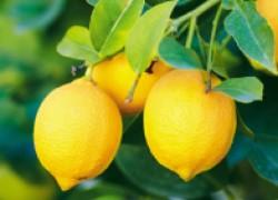 Лимоны избавят от вредных насекомых и пятен на одежде