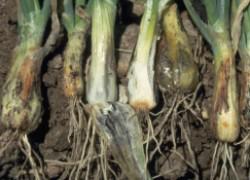 Пероноспороз – опасная болезнь огурцов, лука и чеснока