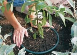 Пластиковое ведро помогает бороться с сорняками