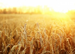 Сохраняем урожай пшеницы в сельских условиях
