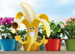 Банан – ценная подкормка для моих цветов