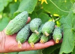 6 самых частых проблем при выращивании огурца