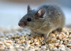 Как отвадить мышей от дома