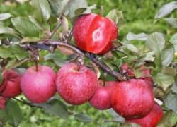 Пять сортов яблок с красной мякотью