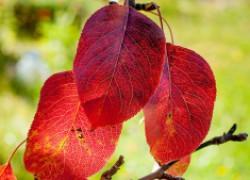Пять причин покраснения листьев на груше
