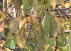 Парша вишни: как выглядит и как лечить