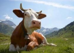 Как спасти корову от папилломатоза