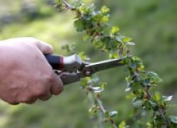 Залог качества ягоды – правильная формировка куста