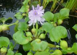 Как зимует водяной гиацинт
