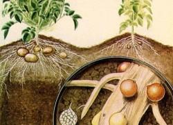 Завелась золотистая нематода – 50 лет не будет урожая?