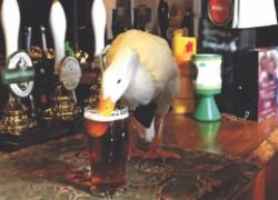 Пьяная утка избила пса