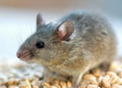 Мой способ борьбы с мышами